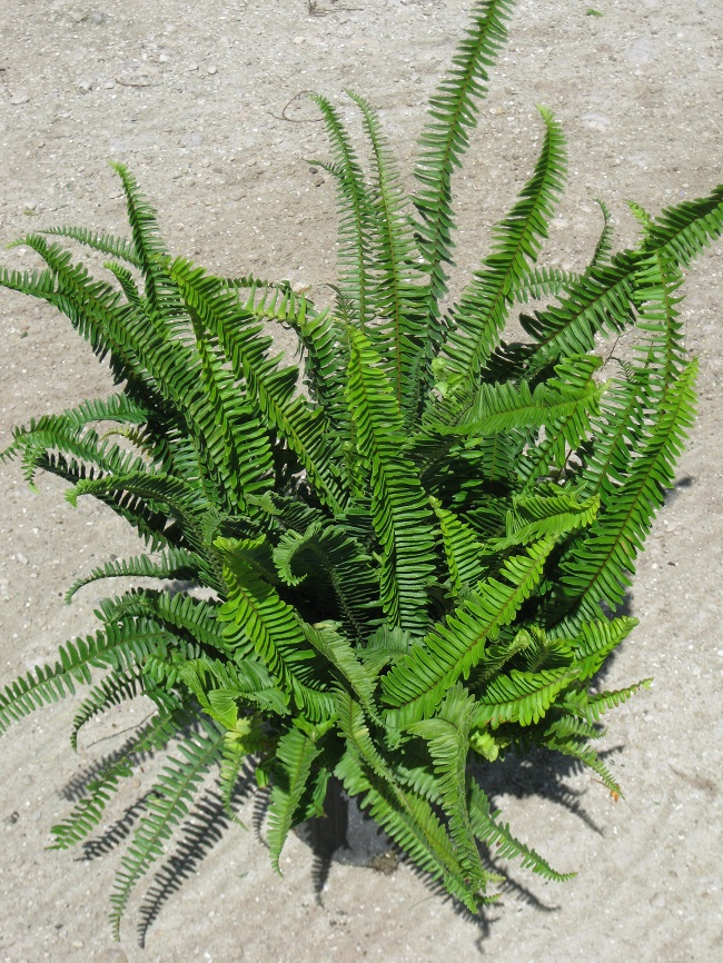 boston fern nephrolepis exaltata boston fern nursery