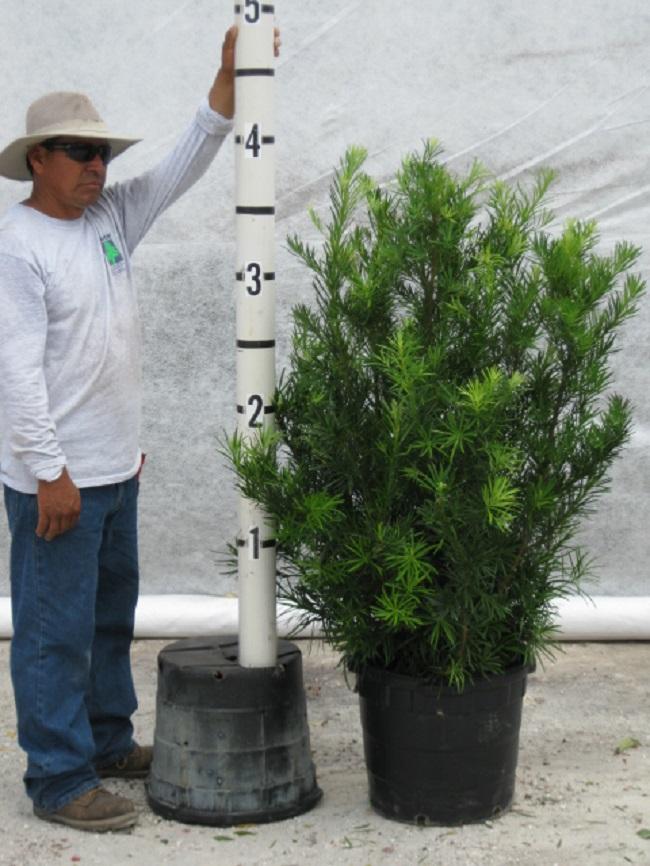 Davenport S Whole Plant Nursery Podocarpus Hedge