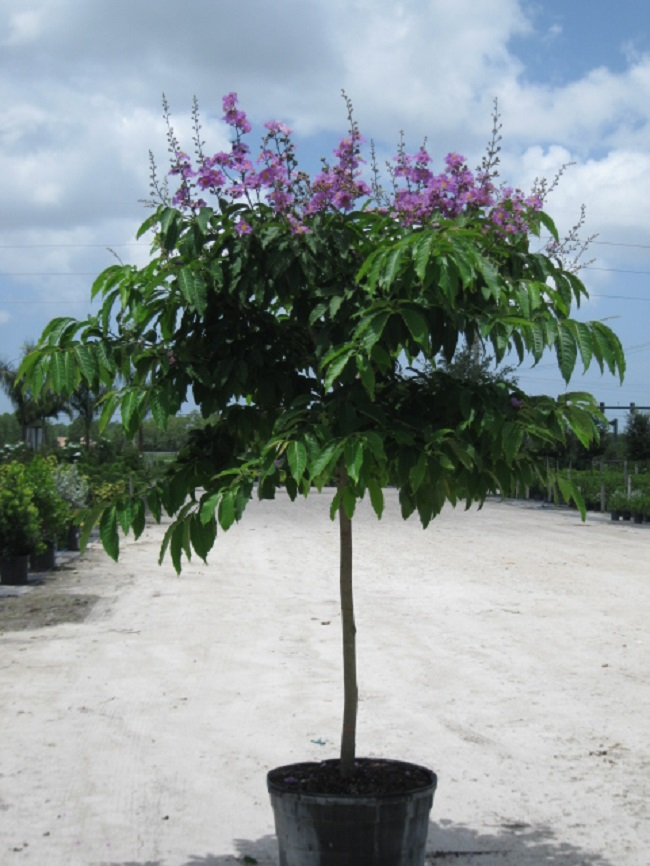 Wholesale Trees Hong Kong Orchid Bottlebrush Black Olive