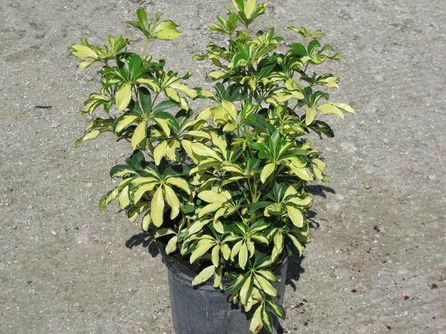 Image gallery trinette - Schefflera variegata ...