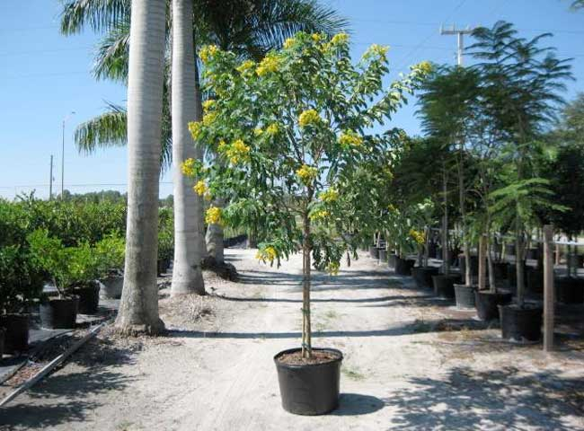 25 Gallon Cassia Tree