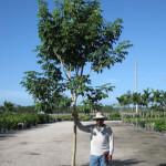 Purple Tabebuia Tree